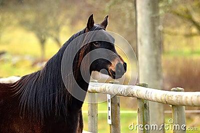 One Arabian horse
