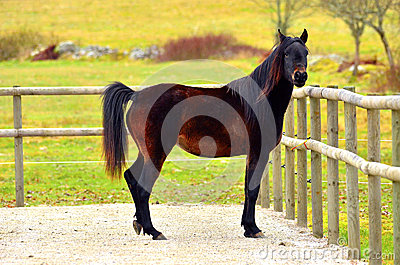 One Arabian horses