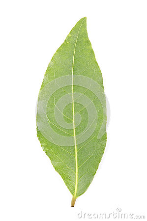 Free One Bay Leaf Stock Photos - 28752133