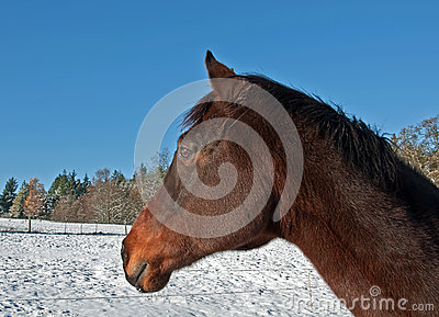One Bay Thoroughbred Horse Side View in Winter