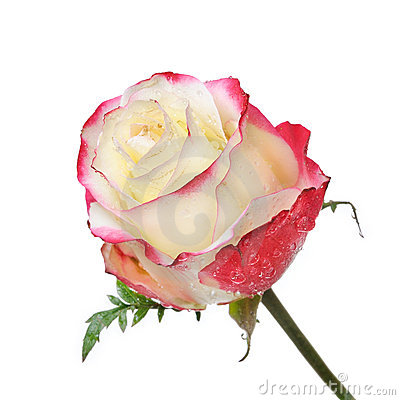 One beautiful rose with dew