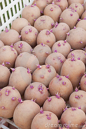 One boxes with of seed potatoes