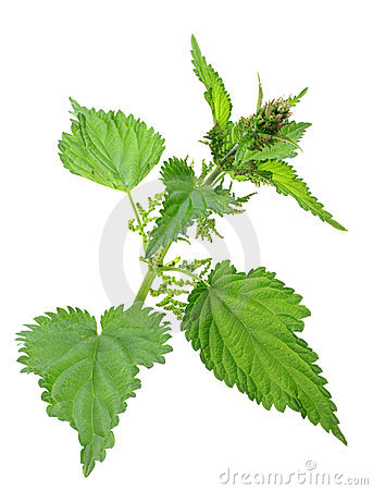 Free One Branch Of Green Nettle Stock Photo - 20780530