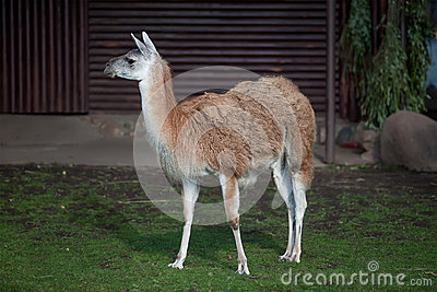 One cute Lama Stock Photo