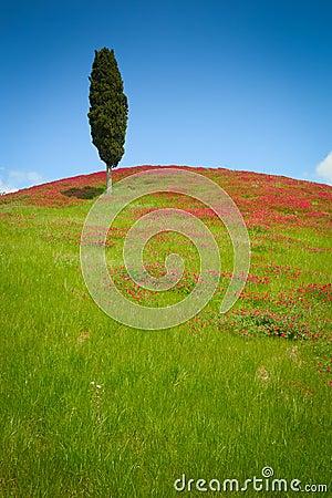 One cypress
