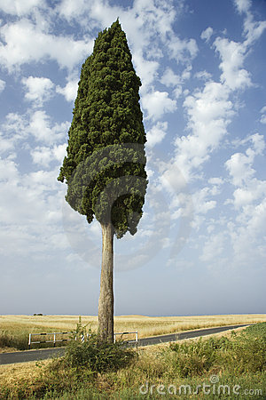 One cypress tree in field.