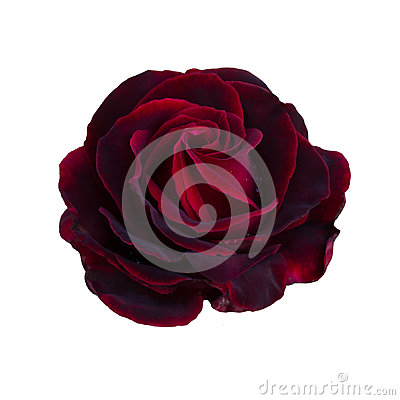 Free One Dark Red Rose Royalty Free Stock Photography - 76210837