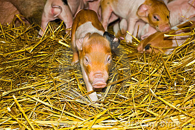 One day old piglets