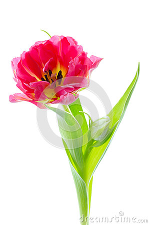 One double early tulip isolated on white
