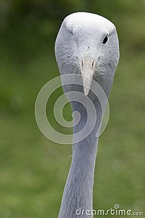 One eyed Blue Crane