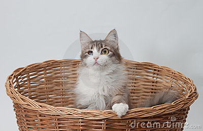 One-eyed cat in the basket isolated