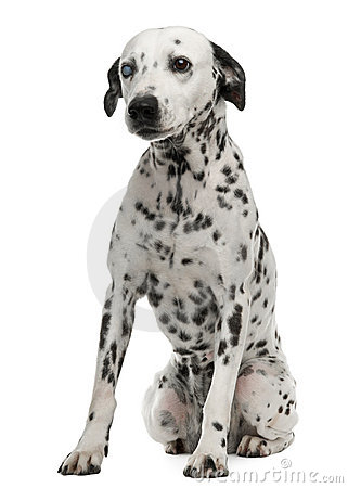 One-eyed Dalmation, 10 years old, sitting