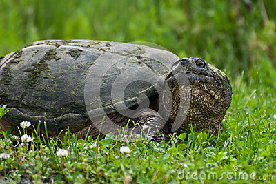 One-eyed Snapping Turtle