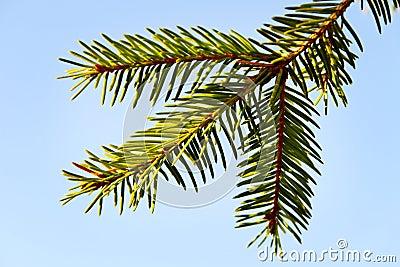 One fir tree brunch.