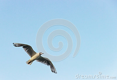 One fly sea gull