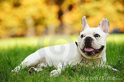 One french bulldog