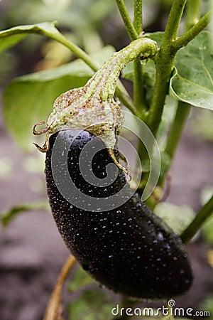 One fresh  eggplant or aubergine