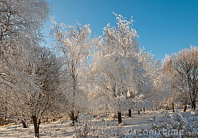 One frosted tree in sunlight