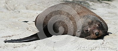 One fur seal lying on the rock