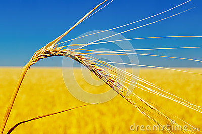 One golden ear of wheat