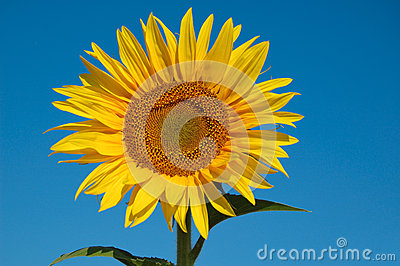 One golden sunflower