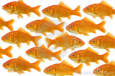 One goldfish being different
