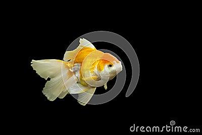 One goldfish isolated on black