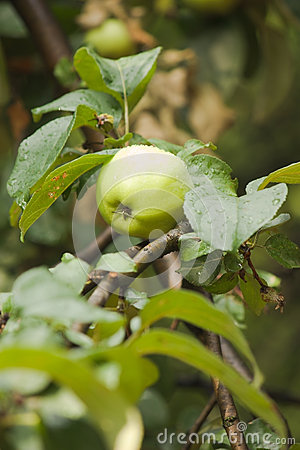 One green apple on apple-tree branch vertical view
