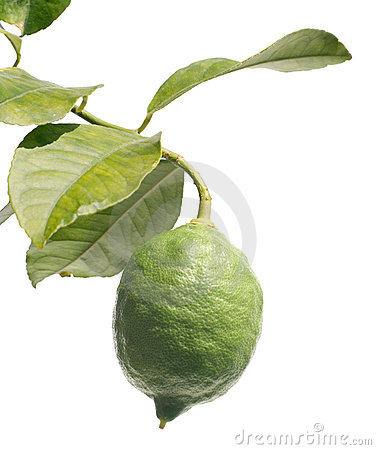 One green lemon on citrus branch with leaves