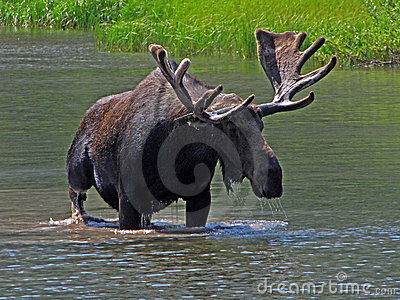 One Large Bull Moose