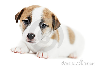 One little jack russel terrier puppy