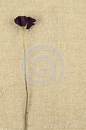Free One Long Dry Red Rose On Linen  Canvas Background Royalty Free Stock Image - 65808936