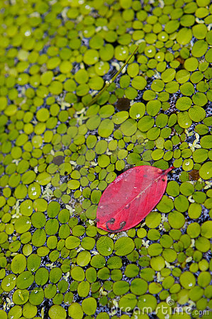 One in a million red leaf