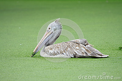 One Pelican in water