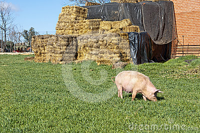 One pig in field