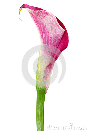 One pink cala lily