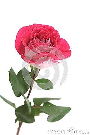 One Pink Rose Royalty Free Stock - 25.3KB