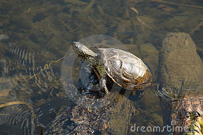 One pond turtle basking on sun in summer