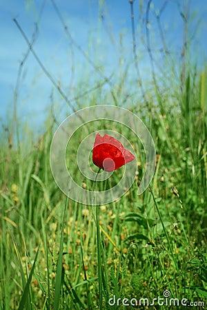 One poppy