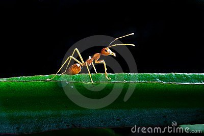 One Red ant