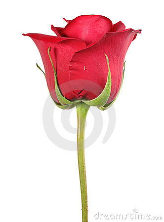 Free One Red Rose Royalty Free Stock Photo - 14459865