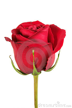 Free One Red Rose Royalty Free Stock Image - 14474366