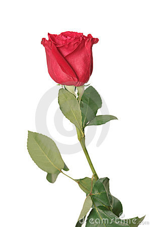 Free One Red Rose Royalty Free Stock Photography - 3844287