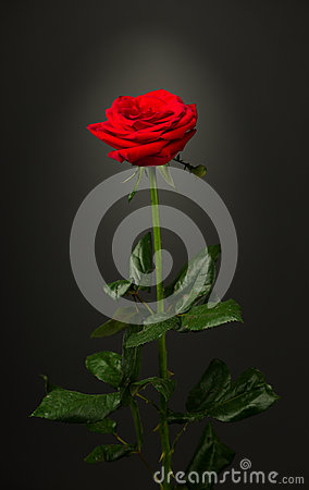 Free One Red Rose On Black Background Royalty Free Stock Photo - 45996795