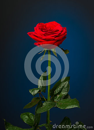 Free One Red Rose On Black Background Stock Photography - 46170382