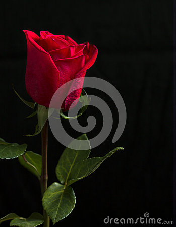 Free One Red Rose On Black Background. Stock Photos - 73588423