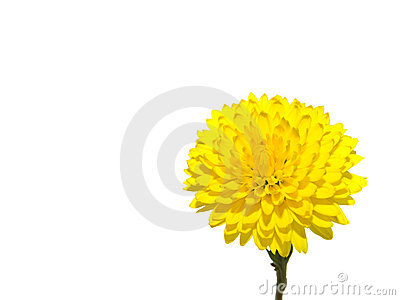 One rich yellow chrysanthemum