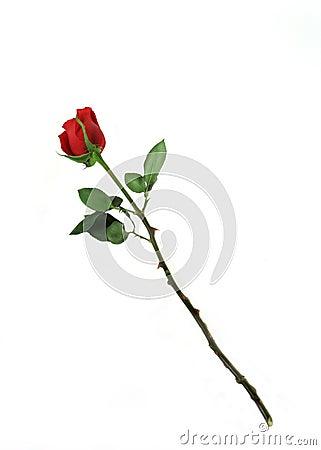 Free One Rose Royalty Free Stock Photo - 4197175