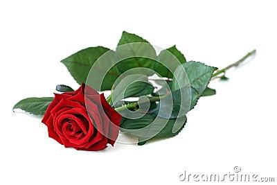 One rose.