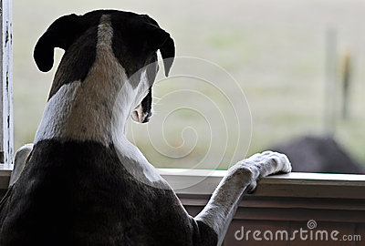Travel Dog Bed >> One Sad Dog Standing Looking Out Open Window Stock Photo - Image: 34619490